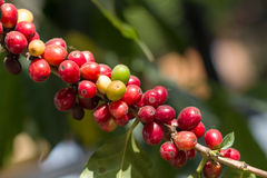 Coffee beans on trees Royalty Free Stock Images