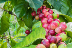 Coffee beans on trees Royalty Free Stock Photography