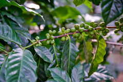 Coffee beans on vine Royalty Free Stock Image
