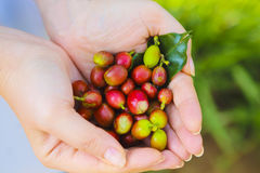 Coffee beans in woman hands. Coffee beans in hispanic woman hands Royalty Free Stock Photo