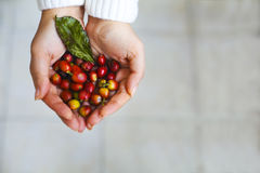 Coffee beans in woman hands Stock Photo