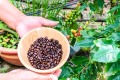 Coffee beans in wooden bowl. Female hand with coffee beans in wooden bowl coffee tree background Stock Photo