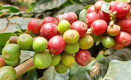 Arabica coffee tree with coffee bean in cafe plantation. Coffee beans young and ripening on tree in North of Thailand Royalty Free Stock Photo
