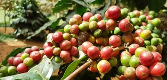 Arabica coffee tree with coffee bean in cafe plantation. Coffee beans young and ripening on tree in North of Thailand Stock Images