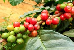 Arabica coffee tree with coffee bean in cafe plantation. Coffee beans young and ripening on tree in North of Thailand Stock Image