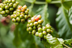 Coffee berries. On bush in a Cambodian plantation Stock Image