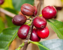 Coffee berries. Growing coffee berries on a branch Stock Photo