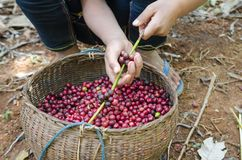 Coffee berries. Fresh coffee berries in hands Stock Images