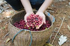 Coffee berries. Fresh coffee berries in hands Royalty Free Stock Images