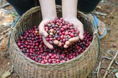 Coffee berries. Fresh coffee berries in hands Stock Photos