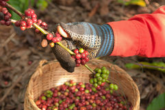 Coffee berries beans harvested by hand. Coffee berries beans are harvested by agriculturist's hand royalty free stock photos