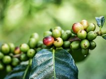 Fresh coffee berries on the branch. Coffee berries on the branch in coffee orchard,Chiang Mai, northern Thailand mountainous area. The fruits will soon be ready Stock Photos