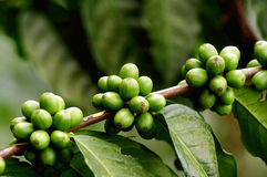 Coffee berries on branch, Jave, Indonesia Stock Photography