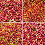 Coffee berries collection Stock Images