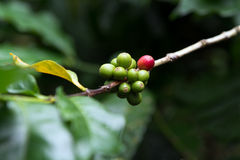 Coffee berries Royalty Free Stock Photography