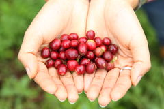 Coffee berries. Fresh coffee berries in hands Royalty Free Stock Photography