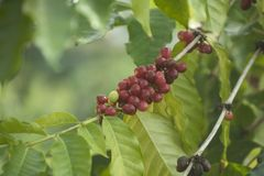 Coffee berries growing Royalty Free Stock Images