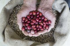 Coffee Berries in the hands. Made from robusta coffee Indonesia Stock Image
