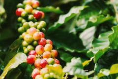 Coffee berries on its tree. Group of ripe and raw coffee berries on coffee tree branch Stock Image