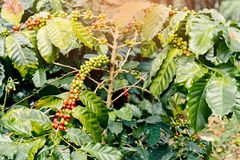 Coffee berries on its tree. Group of ripe and raw coffee berries on coffee tree branch Stock Photo