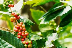 Coffee berries on its tree. Group of ripe and raw coffee berries on coffee tree branch Royalty Free Stock Photo