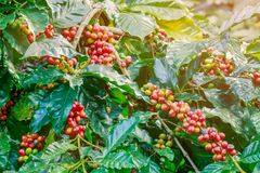 Coffee berries on its tree. Group of ripe and raw coffee berries on coffee tree branch Royalty Free Stock Images
