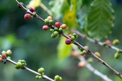 Coffee berries Stock Images