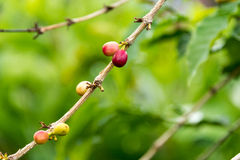 Coffee berries on a tree branch. Coffee beans inside berries on a tree Stock Photos