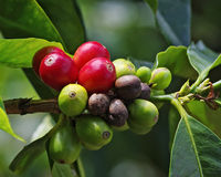 Coffee Berries Unpicked Royalty Free Stock Images