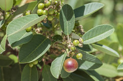 Coffee Berry bush Stock Image