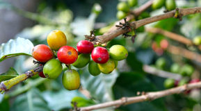 Coffee berry crop. The fruit of the coffee tree, fresh berries still on the branch Royalty Free Stock Image