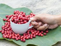 Coffee berry in a cup Stock Images