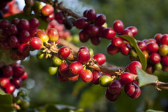 Coffee berry. Or coffee fruit before processed Stock Photography