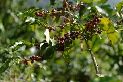 Coffee Berry : The Middle of the Valley. royalty free stock photo