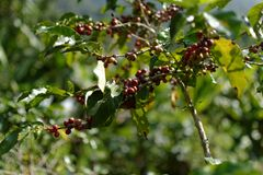Coffee Berry : The Middle of the Valley. royalty free stock images