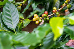 Coffee berry ripening Stock Image