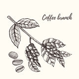 Coffee branch with berry. Hand drawn illustration. Coffee branch. Coffee branch with coffee leaf and coffee berry. Coffee branch and coffee bean, seed. Organic royalty free illustration