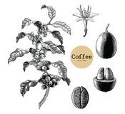 Coffee branch,Coffee flower,Coffee bean hand drawing vintage cli. P art isolated on white background stock illustration