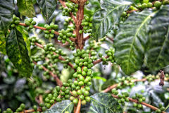 Coffee branch. And green coffee cherries Royalty Free Stock Photos