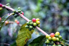 Coffee branch. With green, red and yellow beans Royalty Free Stock Image