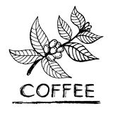 Coffee branch. Plant with leaf, flowers, berry, fruit, seed. Natural caffeine drink. Hand-drawn illustration for shop and poster design Stock Photography
