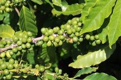 Coffee branch. Unripe coffee beans on branch in Kauai plantation, USA Royalty Free Stock Photo