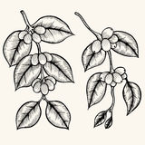 Coffee branch vector Royalty Free Stock Image