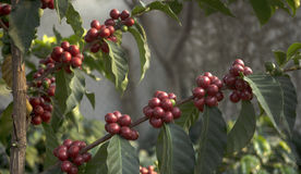 Coffee branchs Royalty Free Stock Photography