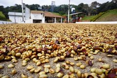 Coffee from Brazil in the drying yard. Stock Photos