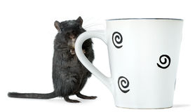 Coffee break. Gerbil standing with a big cup of tea over white background royalty free stock photos