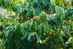 Coffee bush Royalty Free Stock Photography