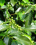 Coffee bush in plantation Stock Images