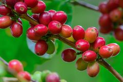 Coffee cherries on branch. Coffee cherries on branch with green background in North Thailand Royalty Free Stock Photo