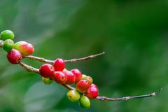 Coffee cherries on branch. Coffee cherries on branch with green background in North Thailand Stock Photography